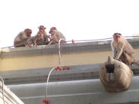 Family of Macaques on roof