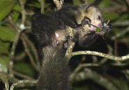 An aye-aye on Nosy Mangabe, a small island and nature preserve in Antongil Bay, Madagascar. Being nocturnal canopy-dwellers, aye-ayes are notoriously difficult to photograph in the wild. Note the animal's special elongated middle digit. Peter Ersts for AMNH