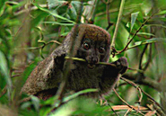 An eastern lesser bamboo lemur eating its favorite food in Ranomafana National Park, Madagascar.Jason Lelchuk for AMNH