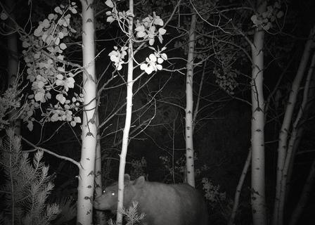 Bear on camera trap
