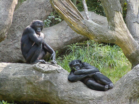 Their microbiomes help primates like these bonobos digest their omnivorous diets.