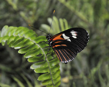 Heliconius melpomene butterfly perched on a fern with its orange, black, and white wings folded back