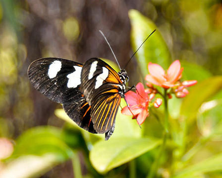 Heliconius melpomene butterfly perched on a small pink flower with its orange, black, and white wings folded back.