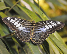 Parthenos sylvia or clipper butterfly with its white-spotted wings spread open.
