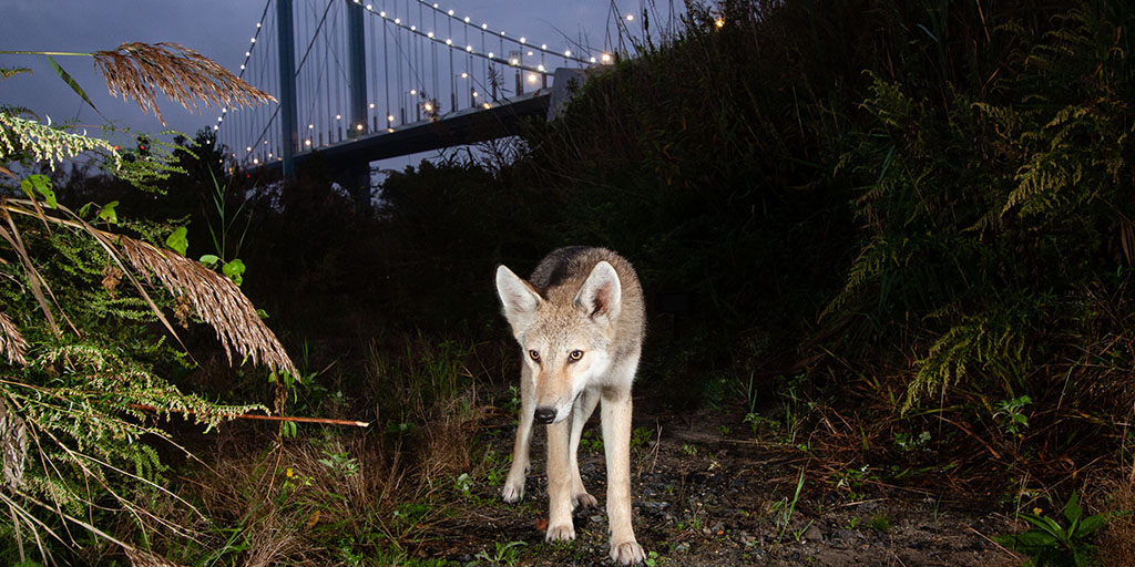 Coyotes in New York City: Panel Discussion | AMNH