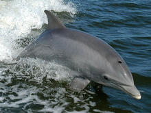 Bottlenose dolphin plays in boat wake.