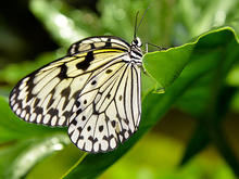Butterfly with patterned wings perches on a leaf.