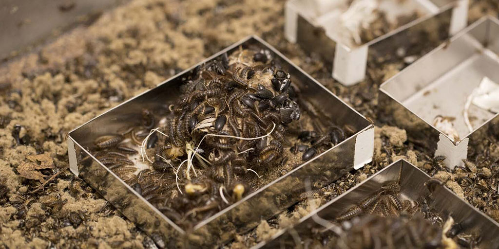 The Museum's Beetle Colony: Livestream May 13 | AMNH