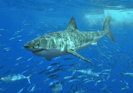 Great White Shark swimming in a school of other fish.