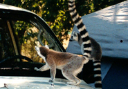 A ring-tailed lemur at Beza Mahafaly Special Reserve checks itself out.Courtesy of Michelle Sauther