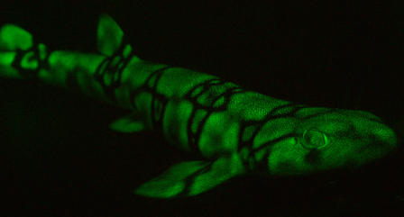 Chain Catshark glowing
