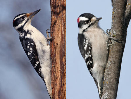 an analysis of downy woodpeckers in american ornithology The active little downy woodpecker is a familiar sight at backyard feeders and in parks and woodlots, where it joins flocks of chickadees and nuthatches, barely.