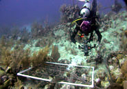 "Bahamas Biocomplexity Project scientists often videotape ""quadrats"" of seafloor to enumerate the marine life that visit them over time."