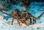 Caribbean spiny lobsters are known to migrate up to 15 km a day in single-file lines of up to 60 lobsters long.Christopher Menjou, www.underwaterplanet.com