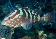 Nassau groupers can change color to blend with their background.Craig Dahlgren