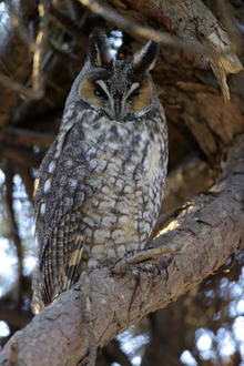 Long-eared Owl for Sweet Winter Bird Walk