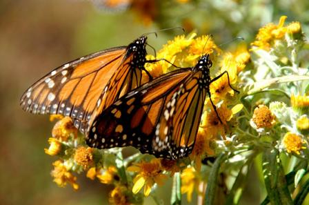 Monarchs_Still_Butterflies