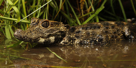 Dwarf Crocodile Photo