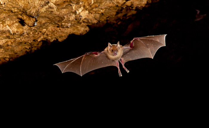 Cuban flower bat with wings spread, flying out of cave.