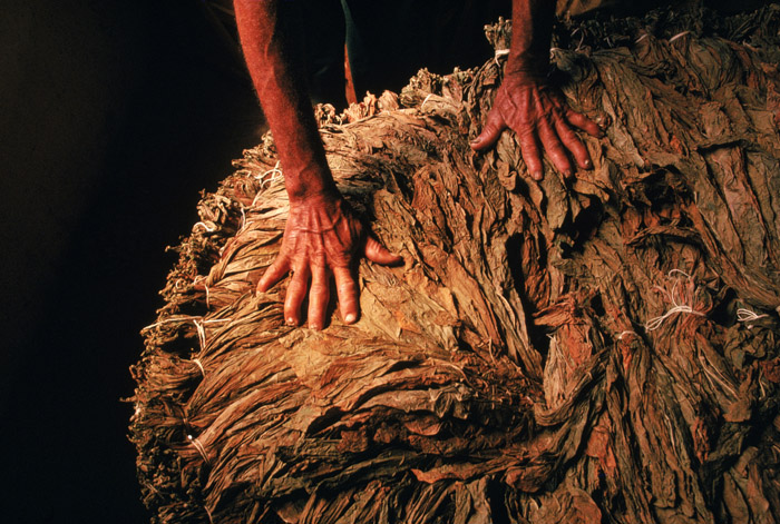 Hands touching a large pile of rolled tobacco leaves.