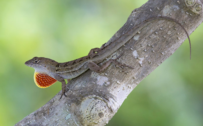 Male cuban anole lizard sitting on a tree branch and displays its dewlap.