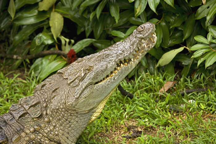 American crocodile sits on grass and looks up.