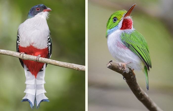Close-ups of the trogon and tody sitting on branches.
