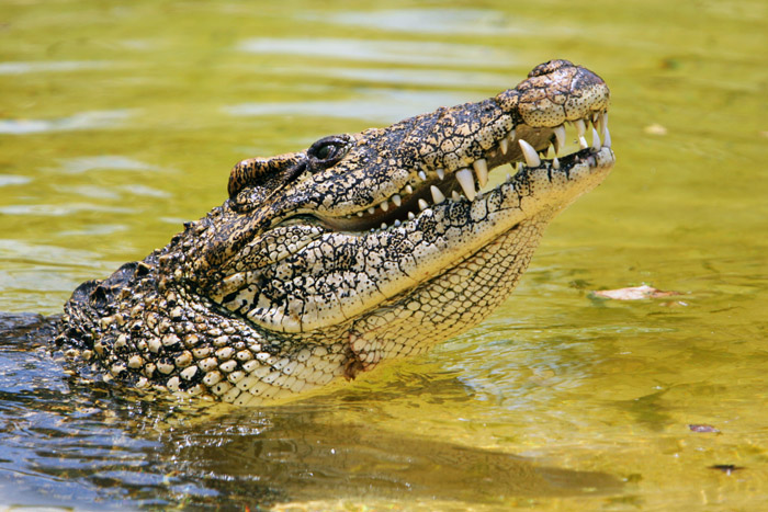 Cuban crocodile lifts its head out of the water.