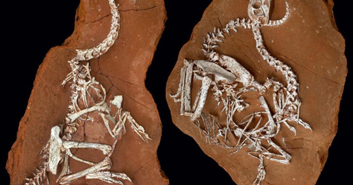 Oviraptorids: Bones, Beaks & Claws of Bird-Like Dinosaurs