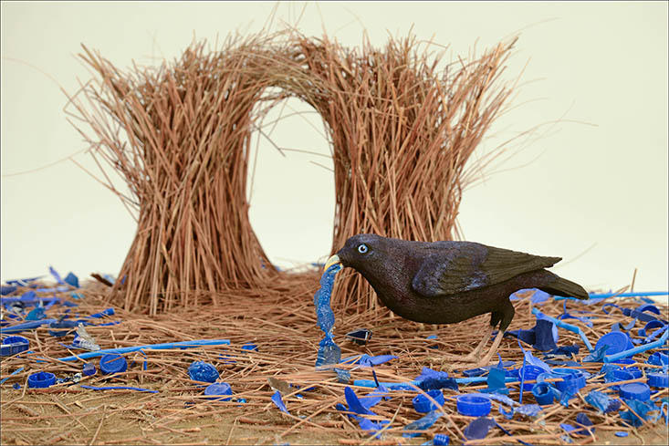Bowerbirds take their name from the extravagantly decorated bowers they use to attract mates. ©AMNH/R. Mickens
