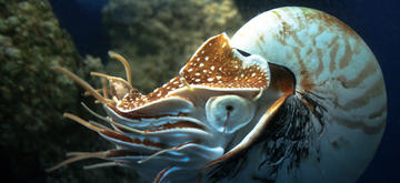 Chambered nautiluses are sometimes called living fossils because they so closely resemble ancient cephalopods like ammonites.  Image courtesy of T.B. Smith