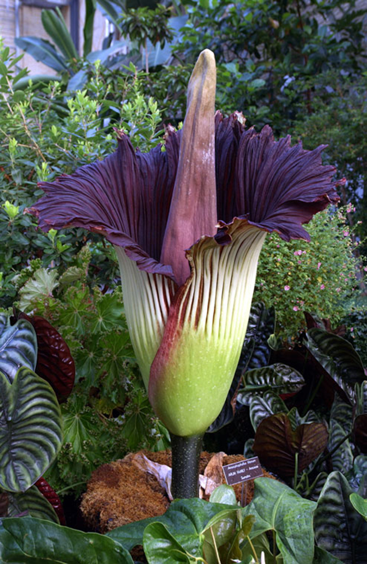A Titan Arum plant preparing to Bloom at the US Botanic Garden in Washington, D.C. Wikimedia/US Botanic Garden