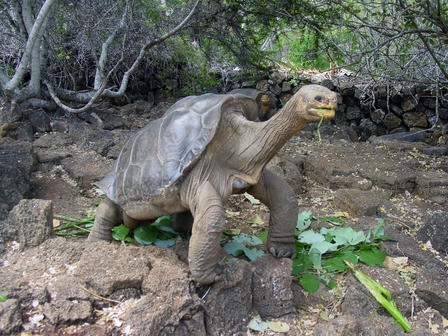Lonesome George was the last known Pinta Island tortoise. © Allison Llerena/Charles Darwin Foundation