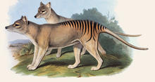 Tasmanian Tiger Natural Histories