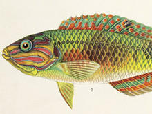 Illustration of a wrasse.
