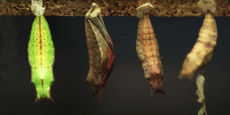 Butterfly pupae hang from a ledge in various stages of metamorphosis.