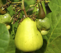 Cashew Fruit IBK-53143