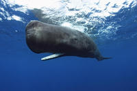Sperm whale.  © Brandon Cole