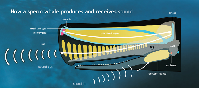Echolocation diagram: How a sperm whale produces and receives sound © Museum of New Zealand Te Papa Tongarewa, 2007