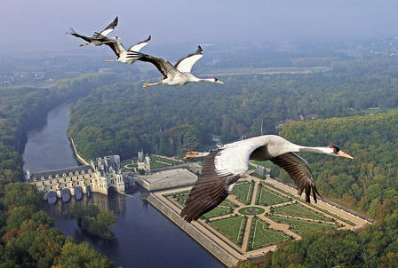 Common cranes fly through the air high above the rivers, trees and gardens in view far below them.