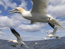 A flock of gannets flies just over the surface of a large body of water.