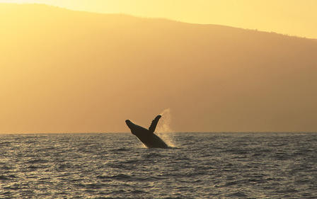 Glowing sunset over a mountain backdrop, a humpback whale breeches in the distance.