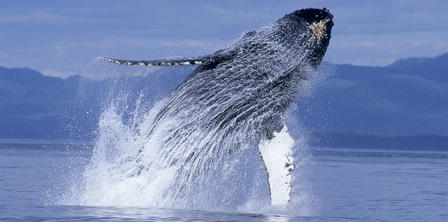 Humpback whale leaps up through a spray of water, exposing his head and flippers.