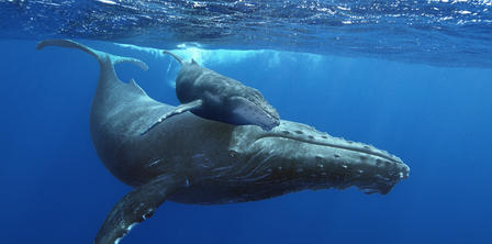 Full length underwater view of a humpback whale swimming with her calf, who hovers closely.