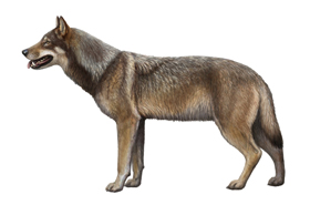 The dire wolf is one of many now-extinct mammals that roamed North America until about 12,000 years ago. © Mauricio Anton