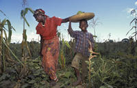 A woman and child harvest corn in the Dedza area of Malawi. ©Jorgen Schytte/Peter Arnold Inc.