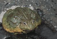 African-Bull-Frog
