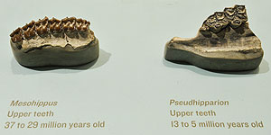 Fossil teeth of Mesohippus (right) and Pseudohipparion (left). Denis Finnin/AMNH