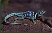 Dickerson's Collared Lizard (Crotaphytus dickersonae) © Bradford D. Hollingsworth/San Diego Natural History Museum