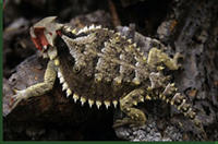 Mexican horned lizard © Wendy Hodges/University of Texas Permian Basin